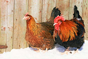 Red Dorking domestic chicken cock and hen {Gallus gallus domesticus} in snow, Iowa, USA.  -  Lynn M Stone