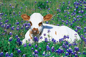 Domestic Texas longhorn calf {Bos taurus} in lupin meadow, Texas, USA.  -  Lynn M Stone