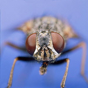 House fly {Musca domestica}, close up of head of female. UK. - Kim Taylor