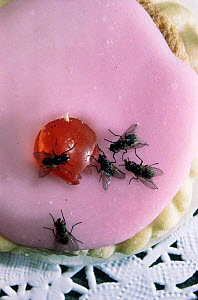 Common house flies {Musca domestica} on iced cake, UK.  -  Kim Taylor