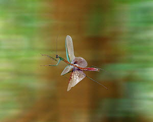 Japanese Mantis flying (Paratenodera ardifolia) Digital composite, captive  -  Kim Taylor