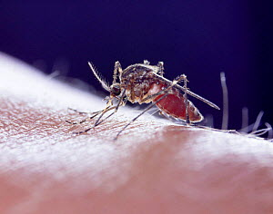 Mosquito (Culiseta / Theobaldia annulata) sucking blood from human arm. UK  -  Kim Taylor
