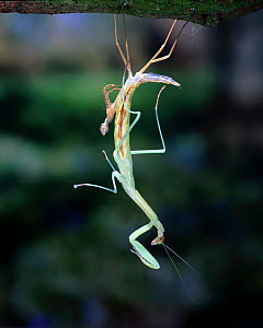 Japanese Praying Mantis (Paratenordera ardifolia) moulting, captive.  -  Kim Taylor