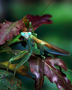Japanese Praying Mantis (Paratenordera ardifolia) portrait. Captive  -  Kim Taylor