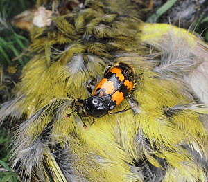 Sexton / Burying Beetle (Nicrophorus vespilloides) on dead Greenfinch, UK.  -  Jane Burton