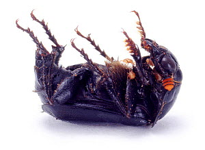 Sexton / Burying Beetle lying on its back feigning death. UK, captive.  -  Jane Burton