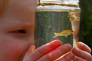 Boy looking at young goldfish in jar, pond dipping, UK - Adam White