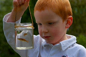 Boy looking at young goldfish (carp) in jar, pond dipping, UK. - Adam White