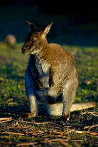 Bennetts / Red necked wallaby {Macropus rufogriseus} Tasmania, Narawntapu NP.  -  Adam White