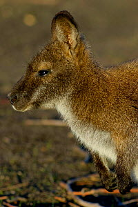 Bennetts / Red necked wallaby {Macropus rufogriseus} Tasmania.  -  Adam White