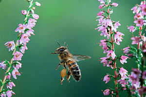 RF- Honey bee worker in flight with full pollen sacs visiting heather flowers. (This image may be licensed either as rights managed or royalty free.)  -  Kim Taylor