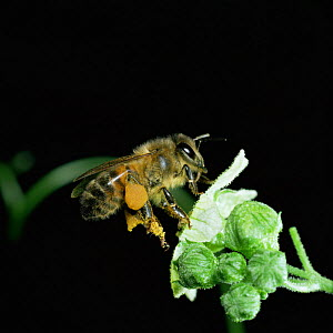Honey bee worker visiting white bryony flower, note full pollen sacs  -  Kim Taylor