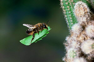 Leaf-cutting bee {Megachile sp) female bringing leaf section to nest amongst roots of cactus.  -  Kim Taylor