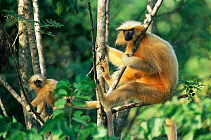 Golden leaf monkey / langur {Presbytis geei} adult male + juvenile, Assam, India  -  Elio Della Ferrera