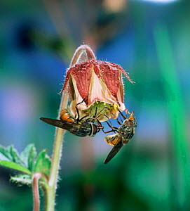 Snout fly / Hoverfly {Rhingia campestris} on Water avens flower, UK.  -  Kim Taylor