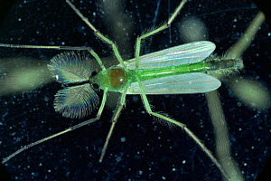 Non-biting midge {Chironomidae} male showing plumed antennae, UK  -  Kim Taylor