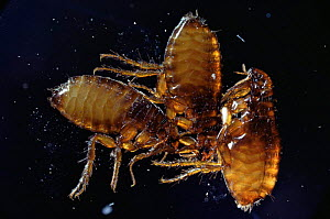 Cat fleas {Ctenocephalides felis} UK  -  Kim Taylor