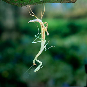 Japanese praying mantis {Paratenodera ardifolia} nymph shedding its skin. Japan.  -  Kim Taylor