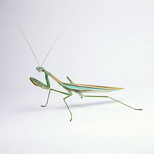 Japanese praying mantis {Paratenodera ardifolia} adult. Japan.  -  Kim Taylor