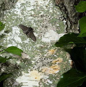 Peppered moth {Biston betularia} normal and melanic colour morphs on birch trunk, UK. - Kim Taylor