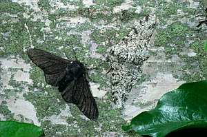 Peppered moth {Biston betularia} normal and melanic forms on birch trunk. UK.  -  Kim Taylor