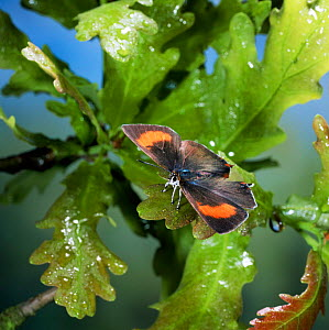 Brown hairstreak butterfly {Thecla betulae} female on oak leaves UK. - Kim Taylor
