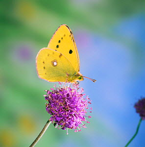 Clouded yellow butterfly {Colias croceus} female feeding on scabious UK. - Kim Taylor