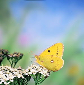 Clouded yellow butterfly {Colias croceus} female feeding on yarrow UK. - Kim Taylor