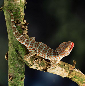 Tokay gecko {Gecko gecko} defensive display. captive, from SE Asia. - Kim Taylor