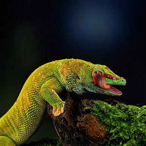 Madagascan day gecko {Phelsuma madagascariensis} licking eye. Madagascar. - Kim Taylor
