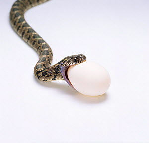 Egg eating snake about to swallow egg, Sequence 1/8 {Dasypeltis scabra} Africa - Kim Taylor