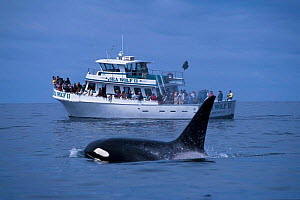 Adult male transient killer whale {Orcinus orca) + whale watching boat. Monterey Bay, California, USA. - Todd Pusser