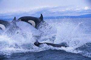 Pod of transient killer whales {Orcinus orca} porpoising, Monterey Bay, California, USA. - Todd Pusser