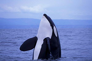 Transient killer whale {Orcinus orca} spy hopping, Monterey Bay, California, USA.  -  Todd Pusser