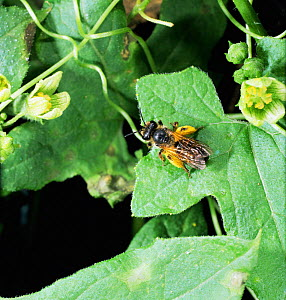 Solitary mining bee {Andrena sp} with full pollen sacs on White bryony flower, UK.  -  Kim Taylor