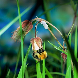Northern moss carder bee {Bombus muscorum} feeding from Water avens flower, UK.  -  Kim Taylor
