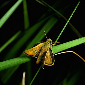 Lulworth skipper butterfly {Thymelicus acteon} male, UK.  -  Kim Taylor