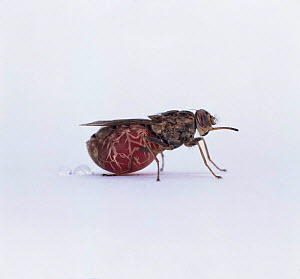 Tsetse fly {Glossina morsitans} swollen after blood meal, from Africa  -  Kim Taylor