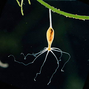 Common hydra {Hydra vulgaris} after swallowing a Daphnia (x5). Sequence 6/6. UK.  -  Kim Taylor