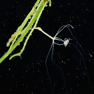 Common hydra {Hydra vulgaris} capturing a Daphnia (x5). Sequence 1/6. UK.  -  Kim Taylor