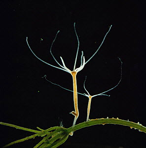 Common hydra {Hydra vulgaris} with offspring and a new bud forming. UK.  -  Kim Taylor
