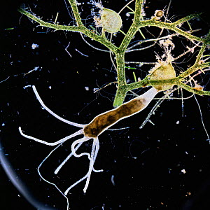 Common hydra {Hydra vulgaris} on Bladderwort. UK.  -  Kim Taylor