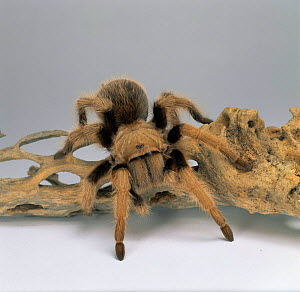 Mexican blond tarantula portrait {Aphonopelma chalcodes} Central America, captive.  -  Kim Taylor