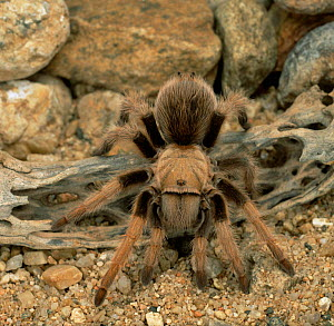Mexican blond tarantula {Aphonopelma chalcodes}. Central America, Captive  -  Kim Taylor