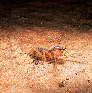 Sun / Camel spider {Solifugae sp.} eating grasshopper. Two ants investigate. East Africa.  -  Kim Taylor