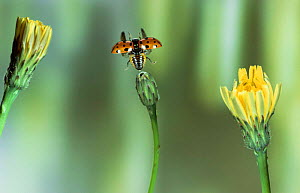 Eyed ladybird {Adalia ocellata} taking off. UK.  -  Kim Taylor