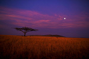 Spotted hyaena {Crocuta crocuta} at dusk walking to Acacia tree. Maasai Mara, Kenya.  -  Anup Shah
