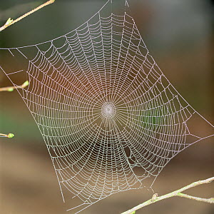 RF- Spiders web covered in morning dew. (This image may be licensed either as rights managed or royalty free.) - Kim Taylor