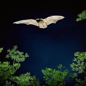 RF- Serotine bat (Vespertilio serotinus) in flight above Hogweed. Captive, UK. (This image may be licensed either as rights managed or royalty free.)  -  Kim Taylor