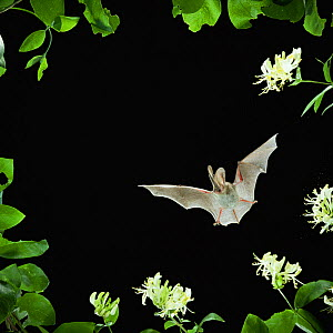 RF- Long eared bat (Plecotus auritus) flying by Honeysuckle flowers, captive, UK. (This image may be licensed either as rights managed or royalty free.) - Kim Taylor